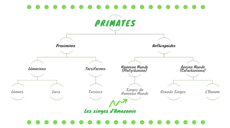 classification-primates