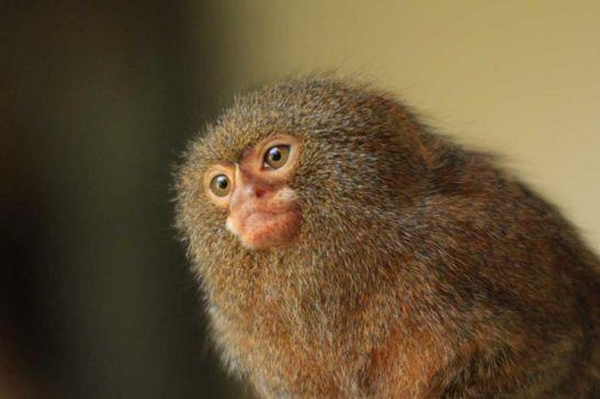 singe-ouistiti-pygmée