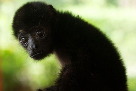 singe-hurleur-noir