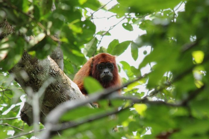 singe-hurleur-roux