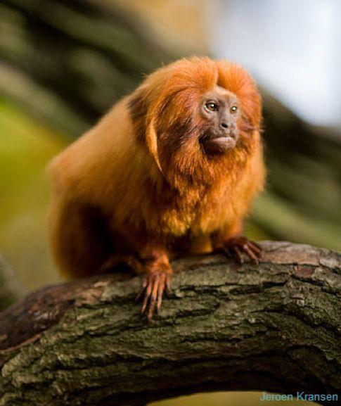 singe-tamarin-lion-doré