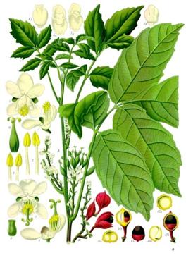 plante-guarana