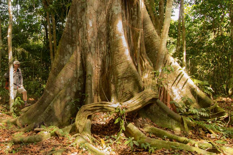 Le Samauma un arbre en forêt amazonienne