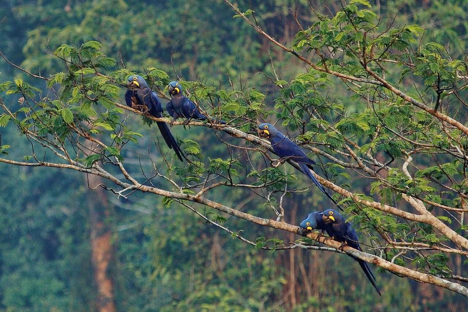 aras bleus foret amazonienne