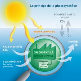 photosynthèse-marine-phytoplancton