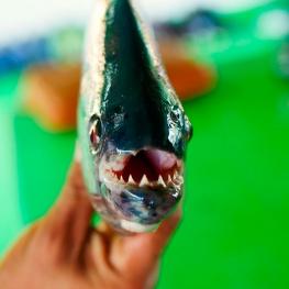 pêche-piranha-amazonie-brésilienne