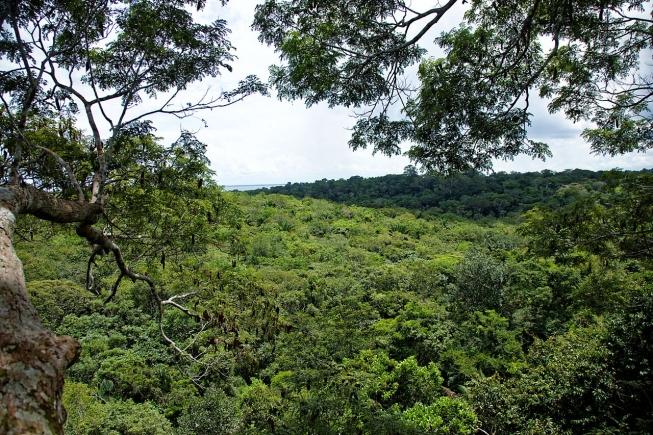 Angelim grimpe d'arbre vue sur la forêt amazonienne