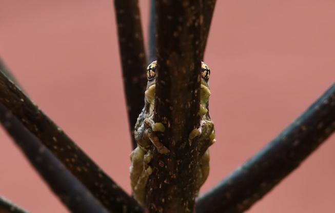 grenouille sur fond rose en forêt amazonienne