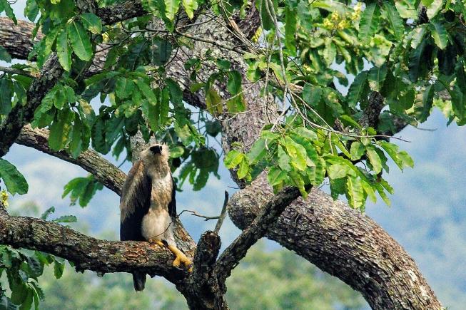 Aigle Harpie espèce menacée forêt tropicale amazonienne