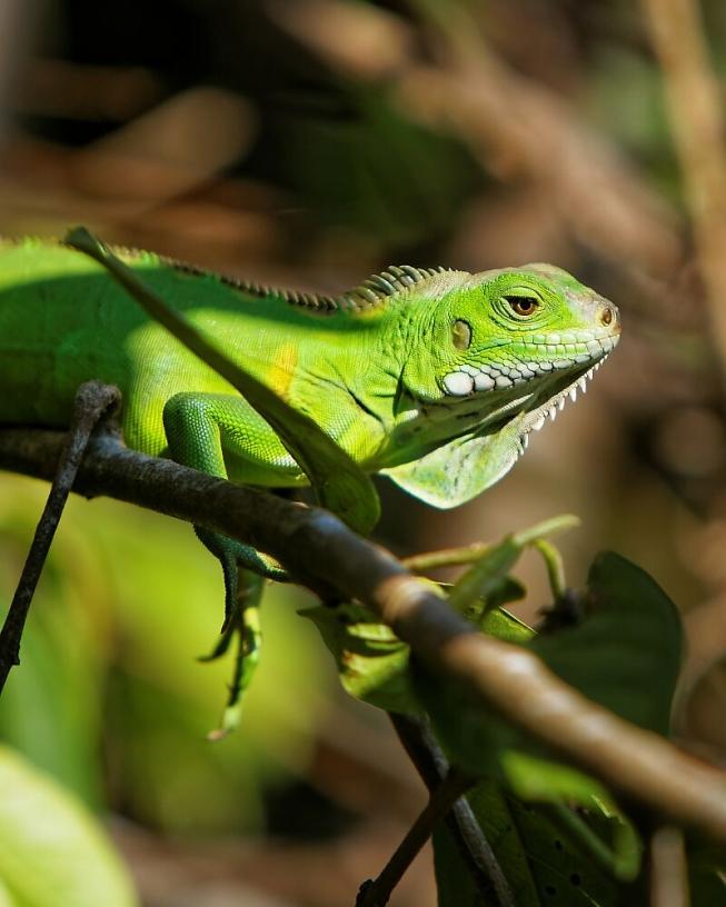 iguane aux écailles vertes